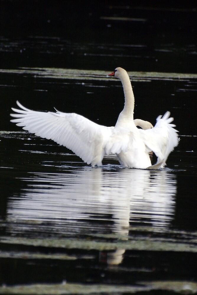 Swan by Stojs