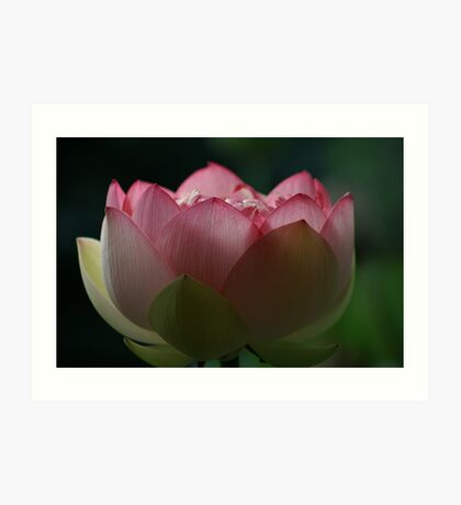 Soft Touch Lotus Art Print
