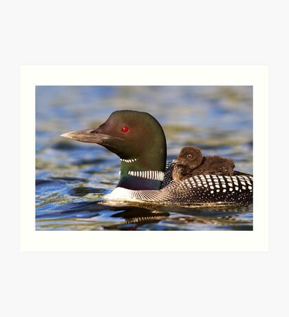 Common loon and chick Art Print