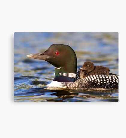 Common loon and chick Canvas Print