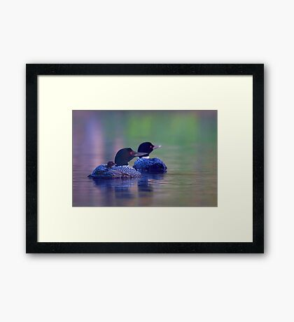 Morning outing - Common loon Framed Print