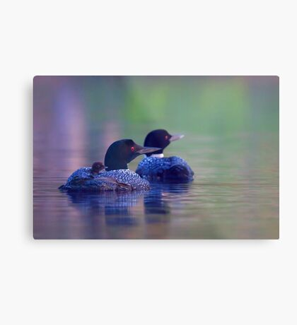 Morning outing - Common loon Metal Print