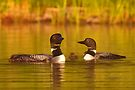 Common loon family portrait by Jim Cumming