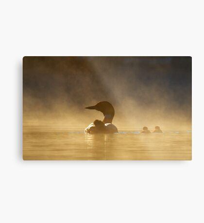 Loons in the mist - Common Loon Metal Print