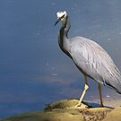 White Faced Heron..........!! by Roy  Massicks