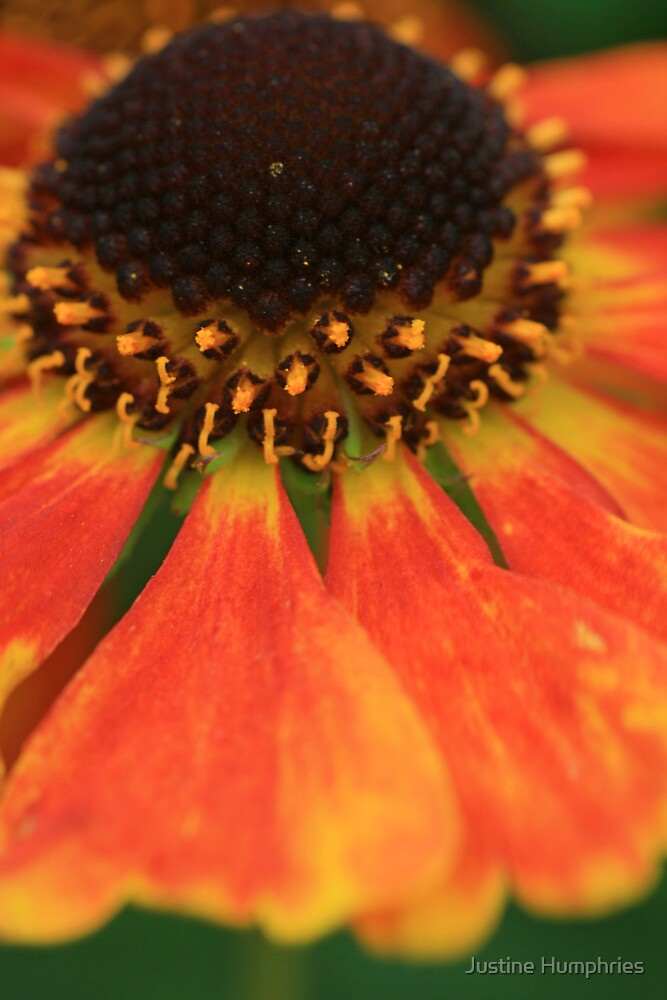 Petals on fire by Justine Humphries