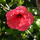 hibiscus by superville
