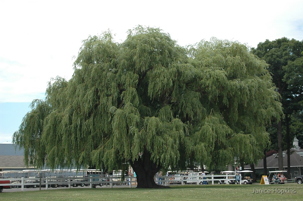 Wheeping Willow  by Janice Hopkins