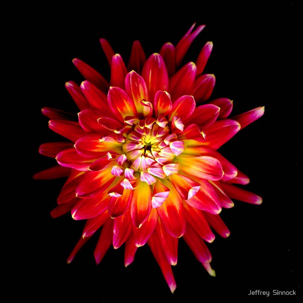 Pink and yellow Dahlia by Jeffrey  Sinnock