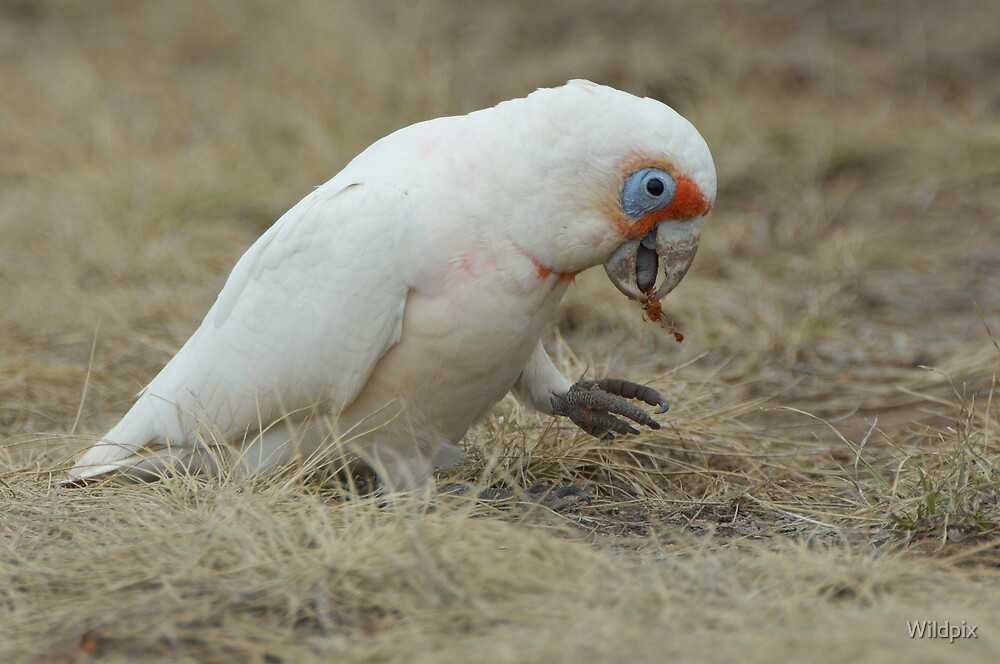 Long-Billed Corella by Wildpix