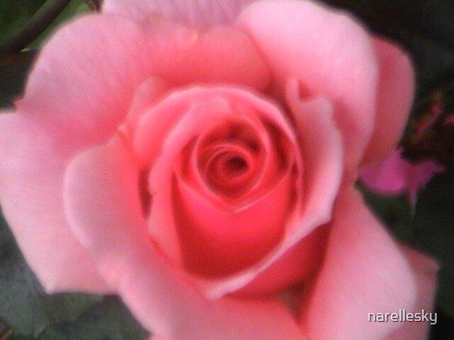 Rose by narellesky