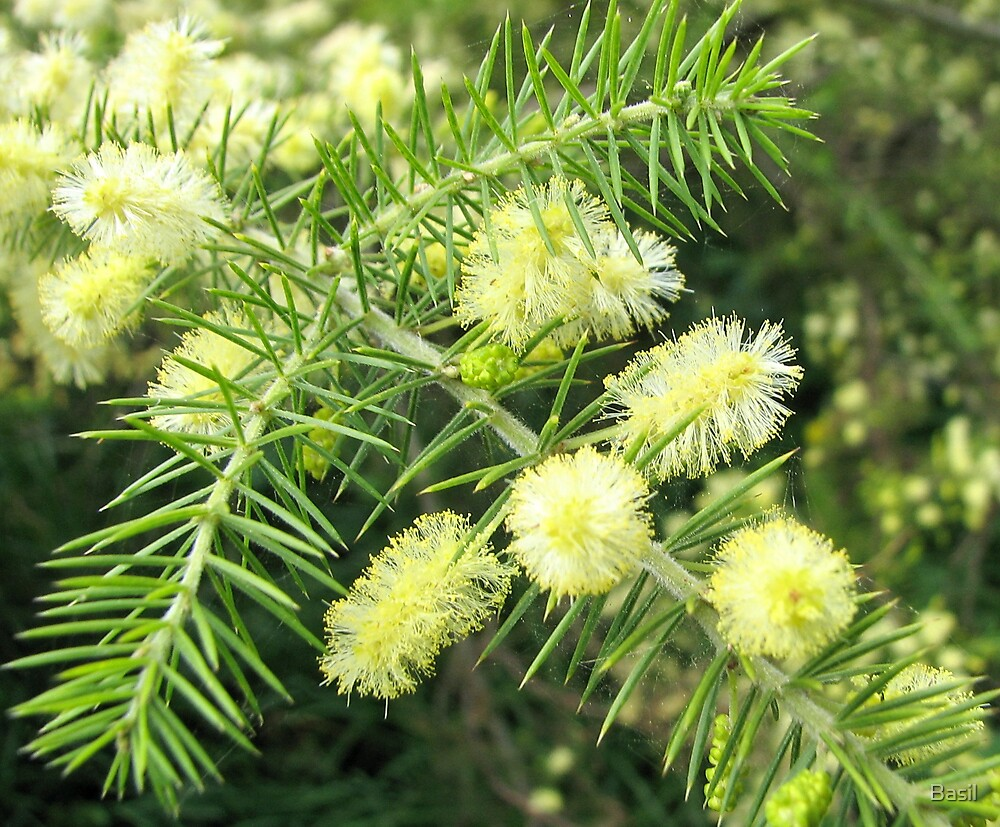 Spring wattle by Basil
