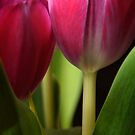 Tulips by AdamDonnelly