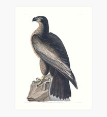The Bird of Washington - John James Audubon Art Print