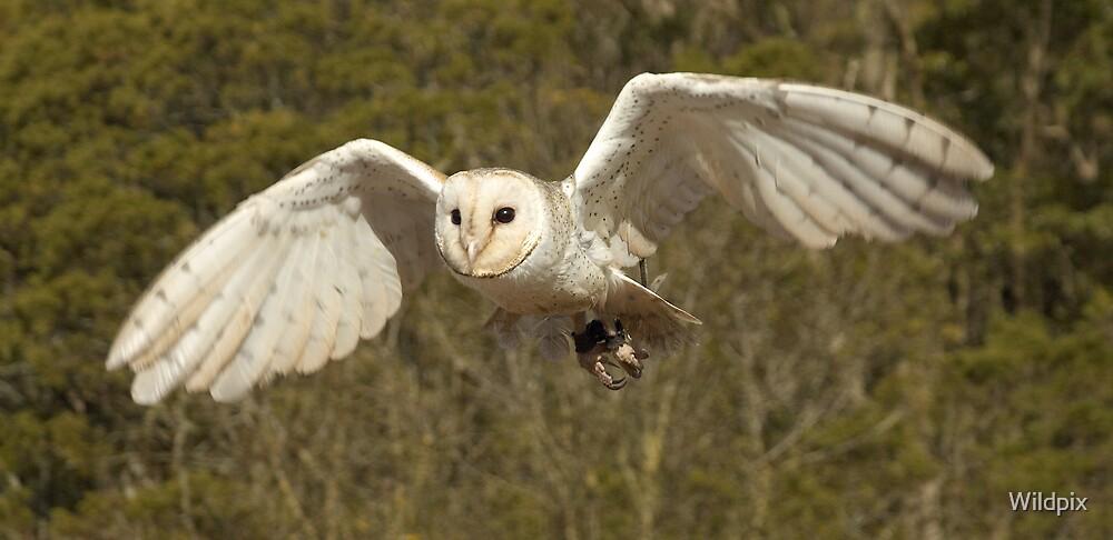 Barn Owl in Flight (2) by Wildpix