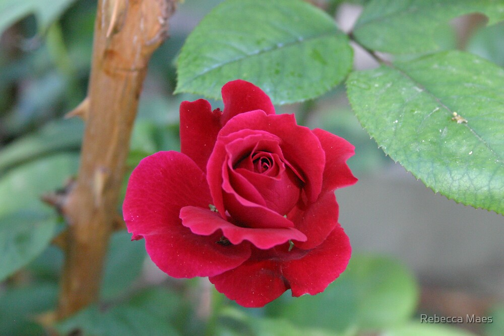 Open Red Rose by Rebecca Jakel