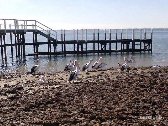 pelicans in the sun by carolynb
