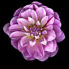 Three toned Dahlia by Jeffrey  Sinnock
