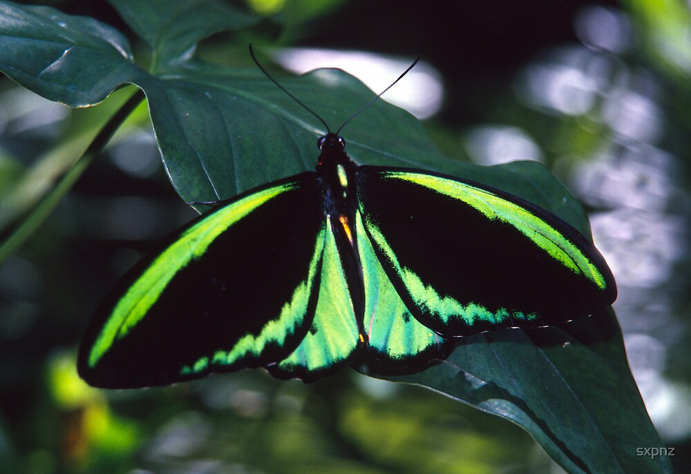 Tropical butterfly by sxpnz