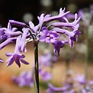 Lila Wildblumen in Portugal von JCDesignsUK