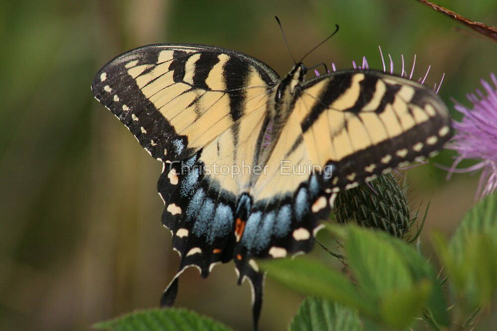 Eastern Tiger Swallowtail by Christopher  Ewing