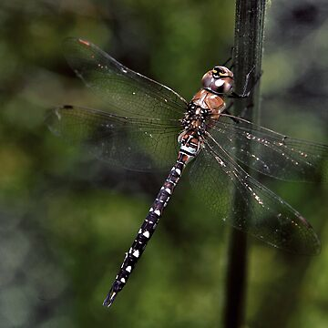 Dragon Fly by JamieP