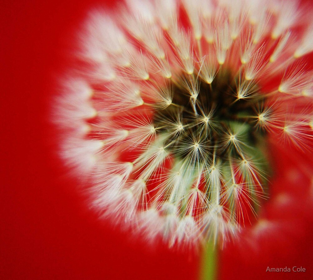 Dandelion by Amanda Cole
