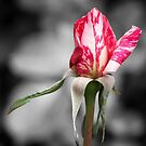 "Rose ""candy Stripe"" by DPalmer"