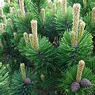 Cones Developing by BlueMoonRose