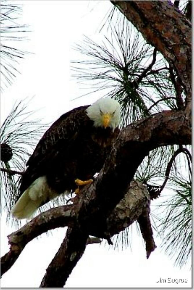 Bald Eagle by Jim Sugrue