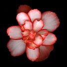 Begonia 2 by Jeffrey  Sinnock