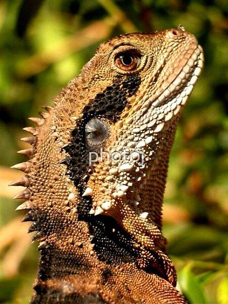 photoj Australia Lizard by photoj