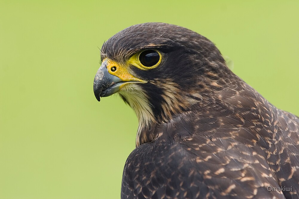 Portrait of a New Zealand Falcon by Omakiwi