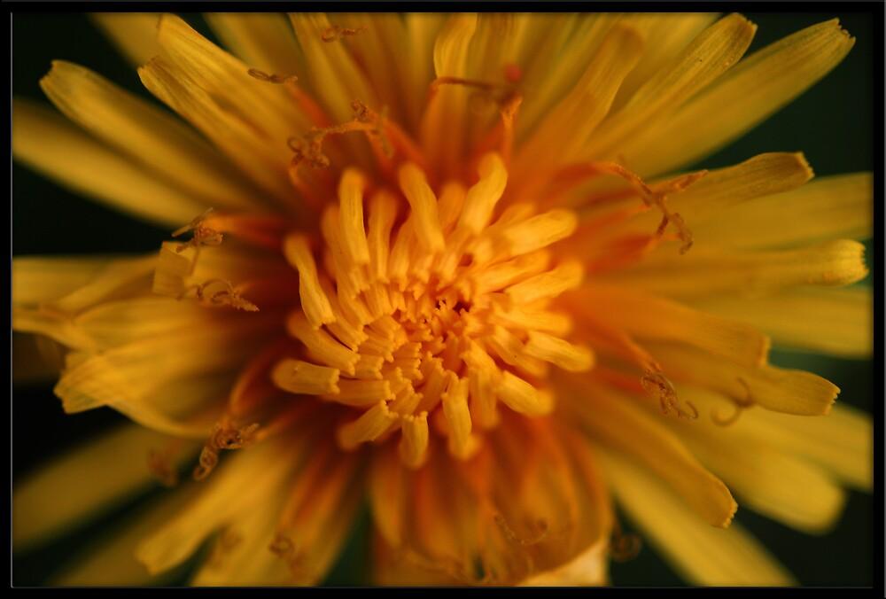Dandylion by Shatteredwings