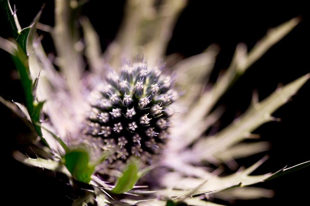 Thistle by Chris Goor