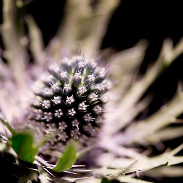 Thistle by chrisgoor