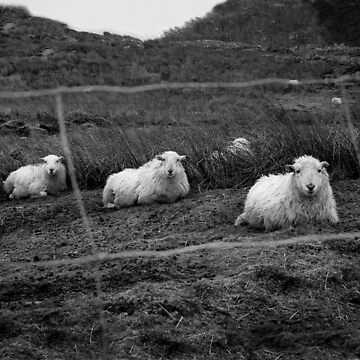 Sheep by chrisgoor