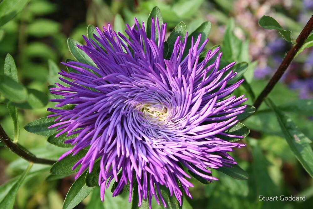 Purple Flower by Stuart Goddard
