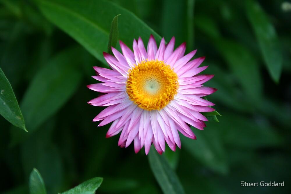 Pink Flower by Stuart Goddard