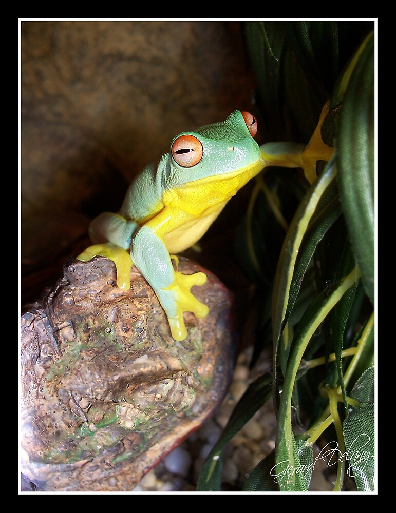 Red-eyed Tree Frog by Gerard Delany