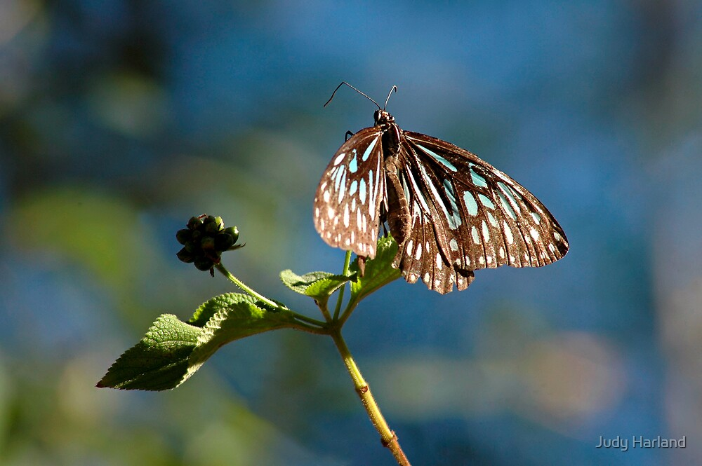 Blue Tiger Butterfly by Judy Harland