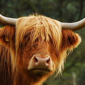 Highland coo by maguirephoto