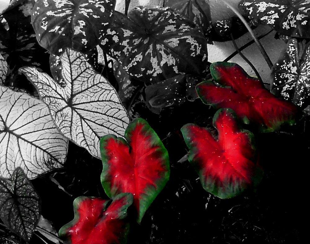 Caladiums 003 by Cardet