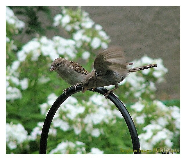 Sparrows by Cateyes