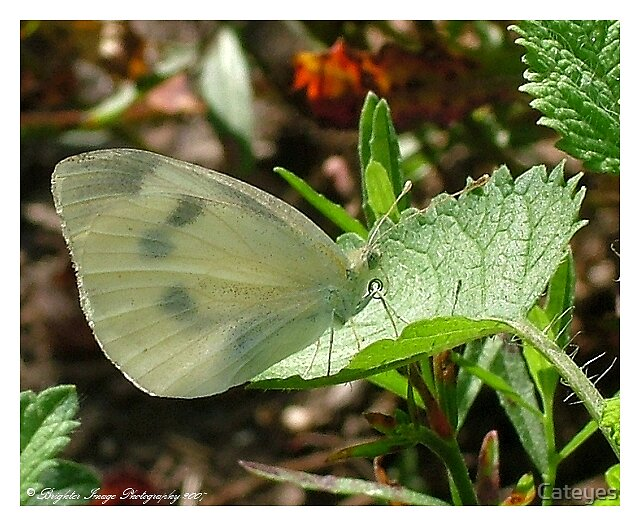 White Butterfly by Cateyes