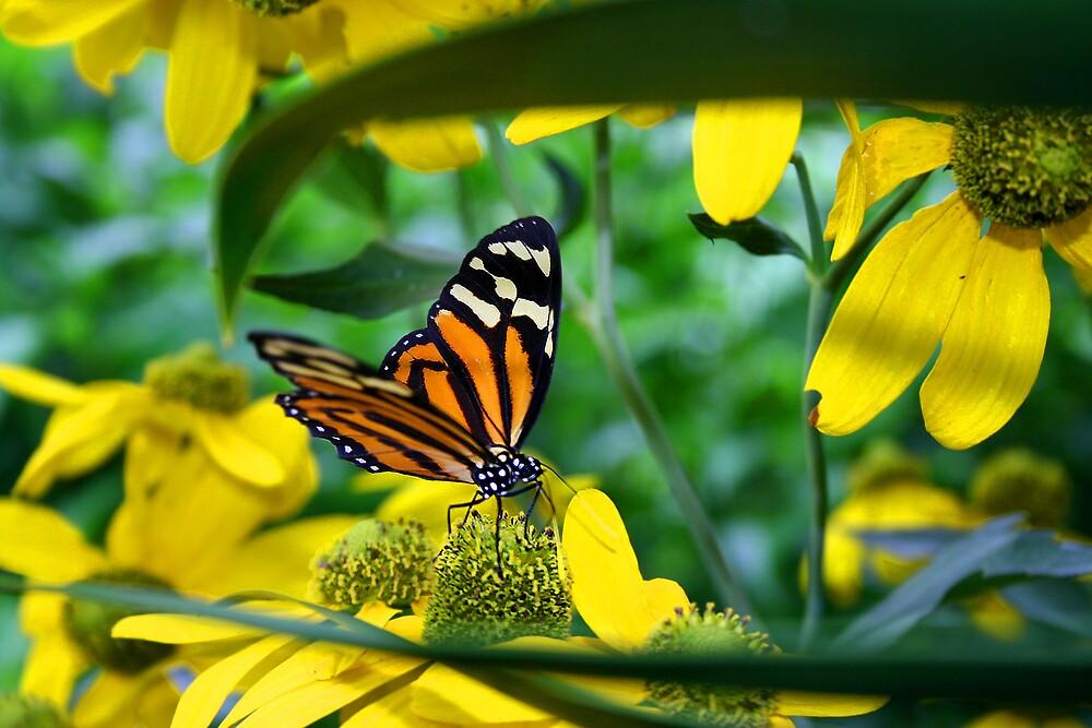Butterfly Art by Jonathan Cohen