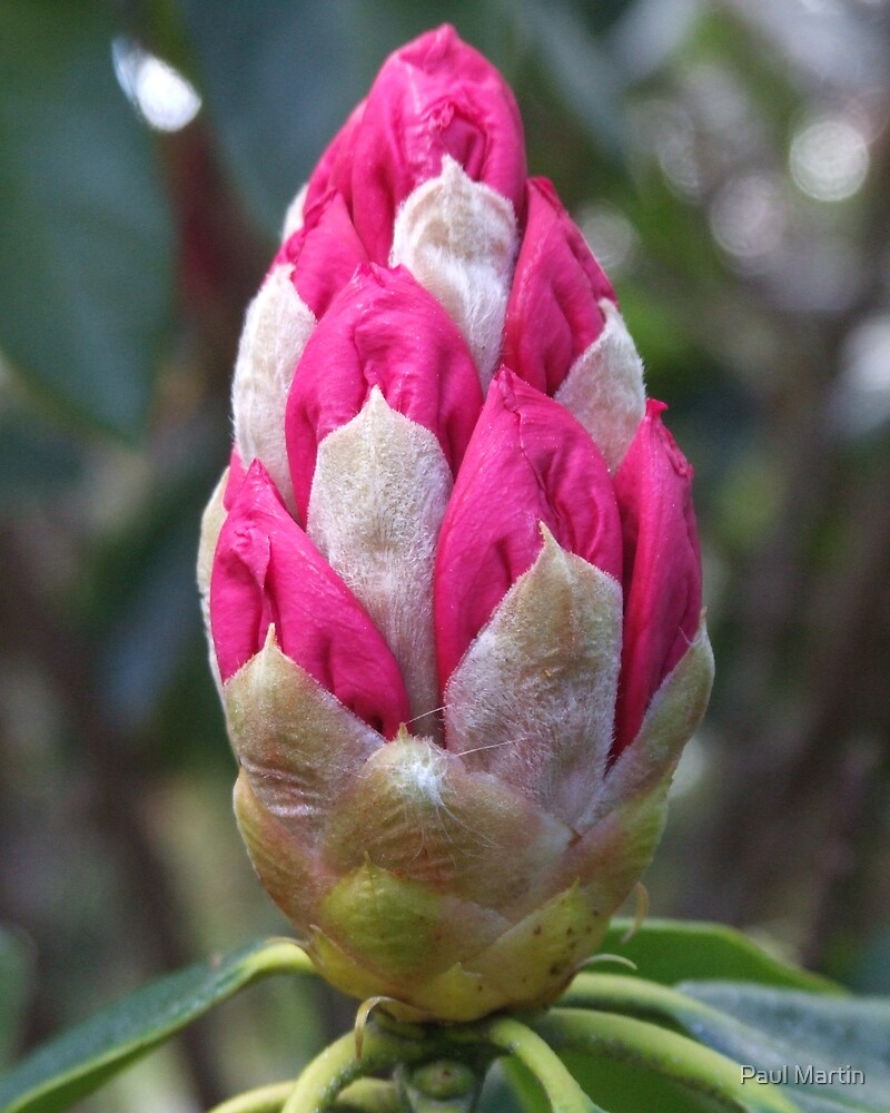 Rhododendron bud by Paul Martin