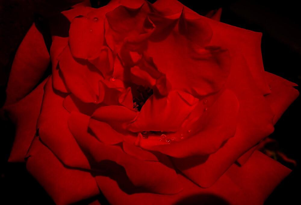 Wet Rose by Adela Hriscu