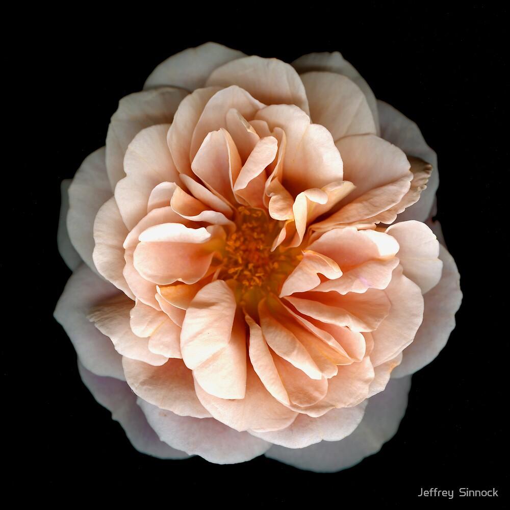 Light Pink Rose by Jeffrey  Sinnock
