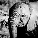 Baby Elephant by Beth Wold